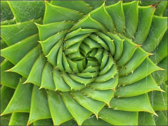 Fibonacci in Nature # 3
